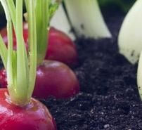 Phytodiagnostic legumes