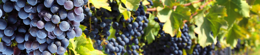 Phytodiagnostic vigne2